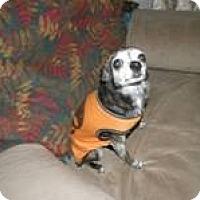 Adopt A Pet :: Sweetie Pie - Seattle, WA