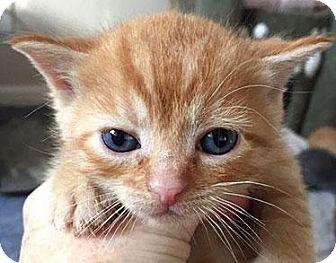 Domestic Shorthair Kitten for adoption in Fort Leavenworth, Kansas - Citrine