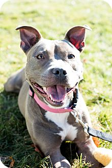 Pit Bull Terrier Mix Dog for adoption in Glocester, Rhode Island - Tallulah
