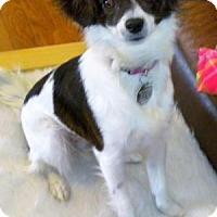 Adopt A Pet :: Blitzie - Dallas, TX