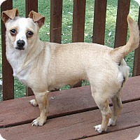 Adopt A Pet :: Blondie(11 lb) Perfect Sweetie - Williamsport, MD