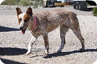 Australian Cattle Dog Dog for adoption in Phoenix, Arizona - Strawberry