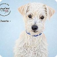 Adopt A Pet :: Cheerio - Phoenix, AZ