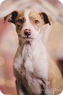 Terrier mix puppies portland oregon