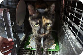 Domestic Shorthair Cat for adoption in Henderson, North Carolina - Liddy **Pregnant**