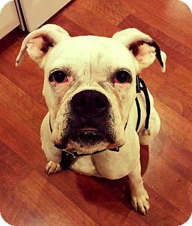 Boxer Dog for adoption in Wilmington, North Carolina - Gracie Mae