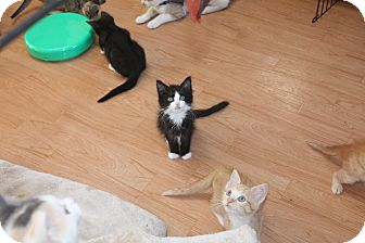 Domestic Longhair Kitten for adoption in St. Louis, Missouri - Teddy Bear
