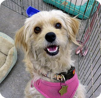 Terrier (Unknown Type, Small) Mix Dog for adoption in Studio City, California - Honey