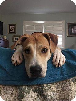 Mountain Cur Mix Puppy for adoption in Baton Rouge, Louisiana - Harris