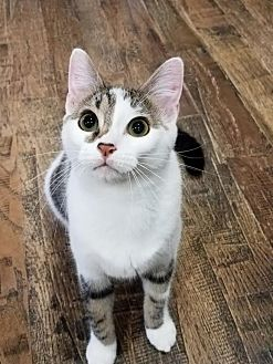 Domestic Shorthair Cat for adoption in Edmond, Oklahoma - Dr. McMittens