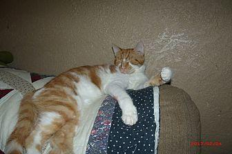 Domestic Shorthair Kitten for adoption in Acme, Pennsylvania - RANDY