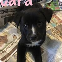 Adopt A Pet :: Cara-Pending! - Detroit, MI