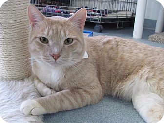 Domestic Shorthair Cat for adoption in Cumberland, Maine - Kingsley
