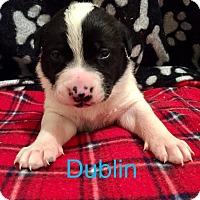 Adopt A Pet :: Dublin - Moyock, NC