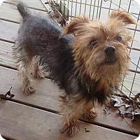 Adopt A Pet :: Bruno - Chicopee, MA