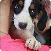 Adopt A Pet :: Sophie - Arlington, TX