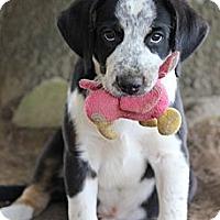Adopt A Pet :: *Archer - PENDING - Westport, CT