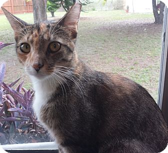 Calico Cat for adoption in Murdock, Florida - Charla