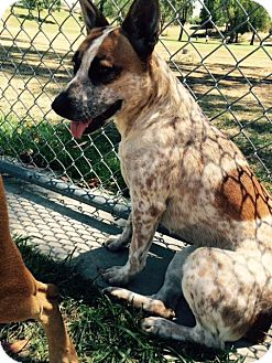 Cattle Dog/Australian Cattle Dog Mix Dog for adoption in Bakersfield, California - Letka