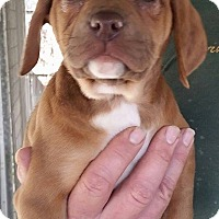 Adopt A Pet :: Dorcas - Gainesville, FL