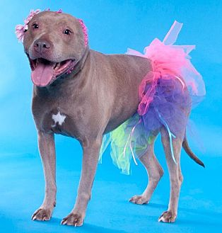American Staffordshire Terrier/Pit Bull Terrier Mix Dog for adoption in Chicago, Illinois - Marina