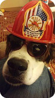 St. Bernard Dog for adoption in Westminster, Maryland - Foster's Needed!!