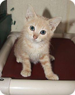 Domestic Shorthair Kitten for adoption in Grinnell, Iowa - Massey Purrgason