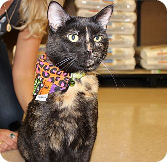 Domestic Shorthair Cat for adoption in Las Vegas, Nevada - STELLA