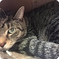 Domestic Shorthair Cat for adoption in Hudson, New York - Tomsy Womsy