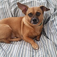 Chihuahua Mix Dog for adoption in Richmond, Virginia - Little Jack