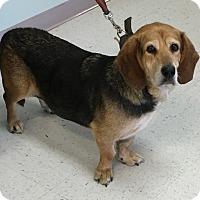 Adopt A Pet :: Kingsley - Albuquerque, NM