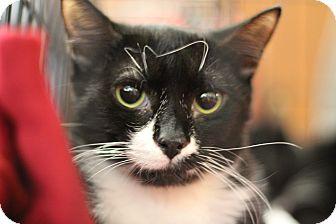 Domestic Shorthair Kitten for adoption in Marietta, Georgia - Caley