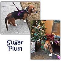 Adopt A Pet :: Sugar Plum - Marietta, GA