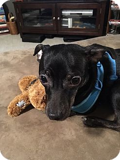 Miniature Pinscher/Chihuahua Mix Dog for adoption in Hedgesville, West Virginia - Sid