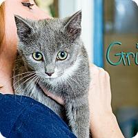 Adopt A Pet :: Gris - Somerset, PA