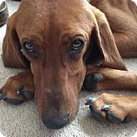 Adopt A Pet :: GORDON - Sherman, CT