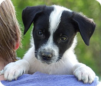 Brittany/Terrier (Unknown Type, Small) Mix Puppy for adoption in Burlington, Vermont - Lander (6 lb) Video