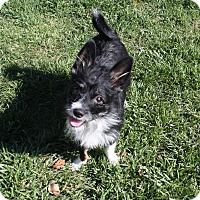 Adopt A Pet :: Pepper - Henderson, NV