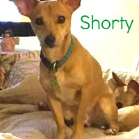 Adopt A Pet :: Shorty (house trained!!!) - House Springs, MO