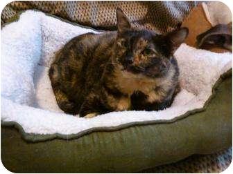Domestic Shorthair Cat for adoption in Little Rock, Arkansas - Miss Kitty