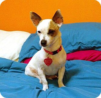 Chihuahua/Jack Russell Terrier Mix Dog for adoption in Ferndale, Washington - Olive
