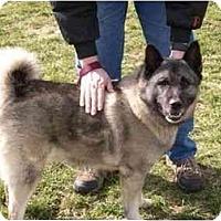 Adopt A Pet :: Bear-Elkhound - Belleville, MI