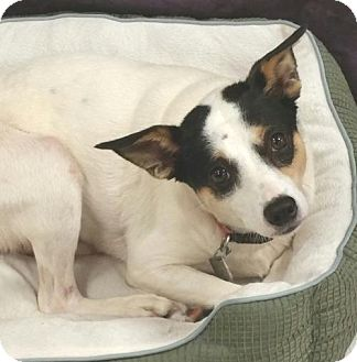 Rat Terrier Mix Dog for adoption in Anderson, South Carolina - DIXIE