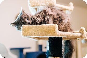Domestic Mediumhair Cat for adoption in Cedar Springs, Michigan - Catniss
