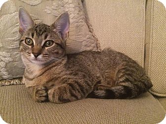 Domestic Shorthair Kitten for adoption in Overland Park, Kansas - Peaches