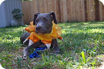 Greyhound/Pit Bull Terrier Mix Puppy for adoption in Austin, Texas - Tiki