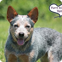 Adopt A Pet :: Cassie Blue - Lee's Summit, MO