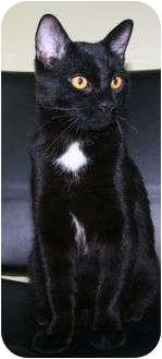 Domestic Shorthair Cat for adoption in Edmonton, Alberta - Licorice