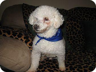 Poodle (Miniature) Dog for adoption in Tumwater, Washington - Cody