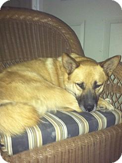 Shiba Inu/Spitz (Unknown Type, Medium) Mix Dog for adoption in Carey, Ohio - Rocky